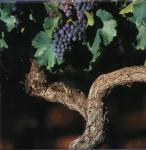 cep de vigne.jpg
