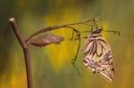 Papilio-machaon_-éclosion-3.jpg