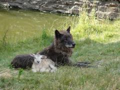 Loup agneau en paix.png