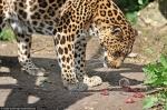 Fort léopard et faible souris.jpg